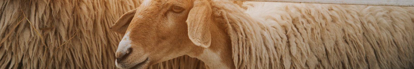 banniere_mouton