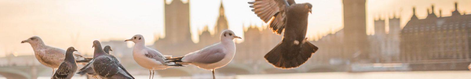 banniere_pigeons